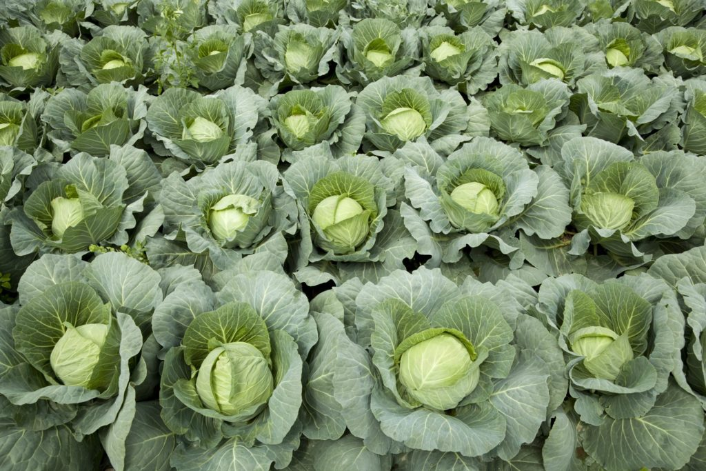 How you treat cabbages is the key to your success